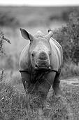 Rhinoceros / Rhino baby calf