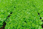 GGreen leaf mustard in growth