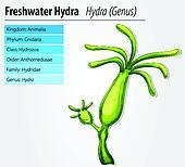 Freshwater hydra
