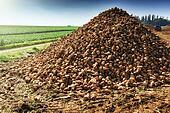Pile of harvested sugar beet