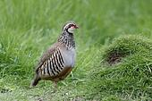 Red-legged partridge, Alectoris rufa
