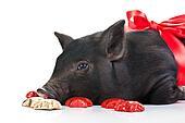 A Pig\'s life