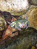 river crawfish