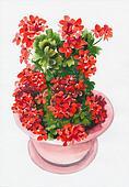 Hot red geranium flower