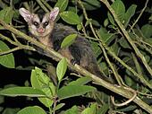 White-eared Opossum