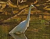 Egret hunting for food