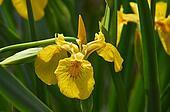 wild iris blooms. Iris Palustris.