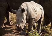 Wild Baby Rhinoceros In Sunlight