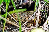 venomous snake of dry grass and leaves.