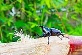 Thai rhinoceros beetle eating sugar cane