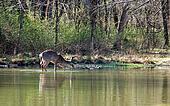 female deer wading