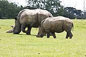 asian white rhino