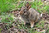 Cottontail Rabbit Young Baby