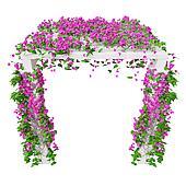 Pink climbing flowers bougainvillea