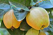 Big yellow quince on the tree