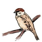 Sketch sparrow on branch isolated