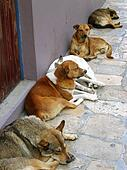 mexican street dogs lazy having a rest