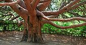 "evergreen red tree \""Arbutus andrachne\"" (Crimea, Ukraine)"