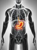 3D illustration of Stomach.