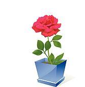 Red rose flower in pot