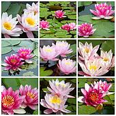 collage of water lilies from nine photos