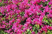 Closeup Bougainvillaea in Blossom