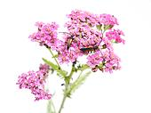 bugs on yarrow on a white background