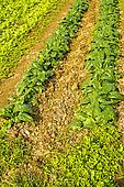 cultivation of spinach