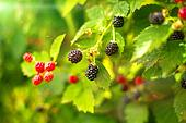 Blackberry bush in summer day