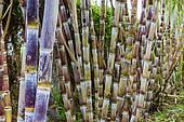 Sugar cane plants nature background.