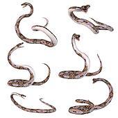 Snake-Reticulated Python