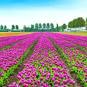 Tulip colorful blossom flowers cultivation field in spring. Keukenhof, Holland or Netherlands, Europe.