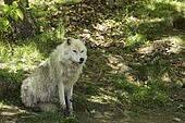 Arctic Wolf in the shade