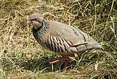 British game bird Red legged Partridge (Alectoris rufa)