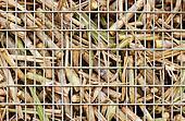Closeup of sugar cane harvest
