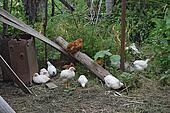 Hens in the yard of a hen house