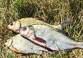 Fish on the grass