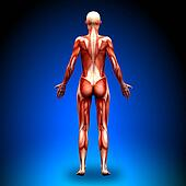 Posterior view - Female Anatomy