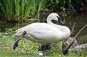 Trumpeter Swan Standing on One Foot