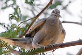 Arizona Mourning Dove on Mesquite Tree