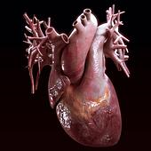 human heart anatomy on black background