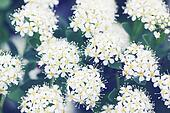 Spiraea with white flowers