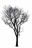Dead tree silhouette.  dry oak crown without leafs isolated on white