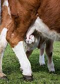 young bull eats breast milk
