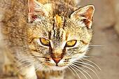 Cat.  (Felis silvestris catus)