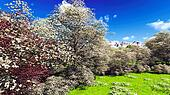 Apple trees blossom in spring