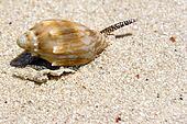 Live Snail on Beach
