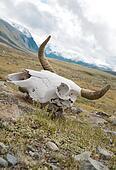 Skull dead bull