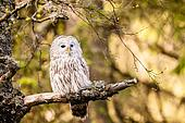 The Ural Owl Strix uralensis