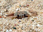 Hiding Crab